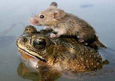 A mouse rides on the back of a frog in flood waters in the northern Indian city Lucknow June 30, 2006.