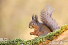 Red Squirrel by stuartshore. Please Like http://fb.me/go4photos and Follow @go4fotos Thank You. :-)