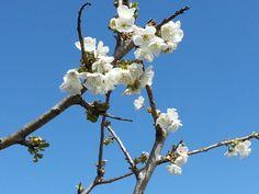 Flor de los cerezos de Can Roldan