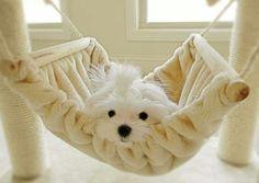 Puppy Maltese hanging in the hammok