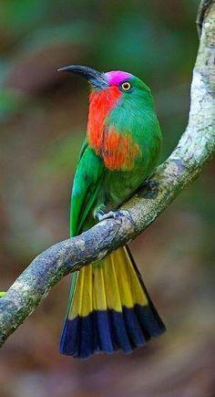 ムネアカハチクイ Red-bearded Bee-eater (Nyctyornis amictus)