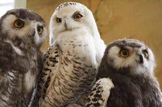 Owls are my favorite bird species next to the extinct Dodo