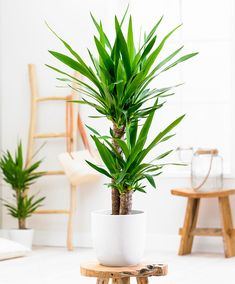 The Advantages Of Growing Food Indoors With Hydroponic Gardening Yucca Plant Indoor, Palm Plant, Best Indoor Plants, Cool Plants, Outdoor Plants, Green Plants, Potted Plants, Trees To Plant, Yucca Elephantipes