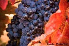 Szczepy, które trzeba znać. Tempranillo  Ciemne grona o cienkiej skórce dają wina pełne i o dość niskiej zawartości alkoholu. Znawcy mówią, że Tempranillo, które ma niezwykle dużo innych nazw, to hiszpańska odpowiedz na Cabernet Sauvignon.