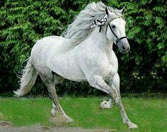Pura Raza Española stallion Bandolero CLXXVI at liberty.