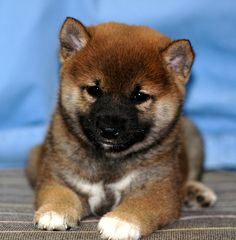 This looks so much like Kohaku as a puppy!