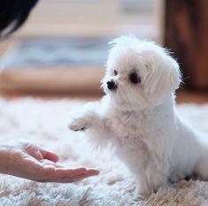 #maltese #dogs #dogsofinstagram https://www.instagram.com/p/Bg_ICiAjJbs/?taken-by=maltese_only