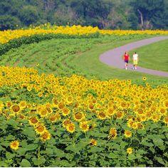 #Biltmore Park #sunflowers