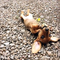 """Did anybody order a Doxie on the rocks? Posted by <a href=""""http://dorgies.tumblr.com/post/92055144042/i-have-flowers-for-you"""">dorgies</a> on Tumblr."""