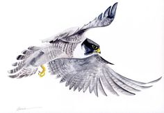 OnePeregrine Falcon5x7 card with envelope in clear sleeve Blank inside Beautiful archival reproduction of Katrina's watercolor printed on felt pressed recycled card stock. Individually cut and folded by hand.