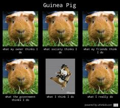 In case you were wondering what your guinea pig has been doing all day...