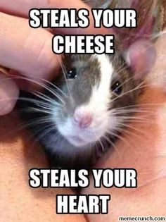 20 Adorable Rat Pictures Prove Rats Make The Cutest Little Pets Funny Rats, Cute Rats, Funny Animal Memes, Funny Animal Pictures, Cute Pictures, Funny Animals, Cute Animals, Animal Humor, Animal Quotes