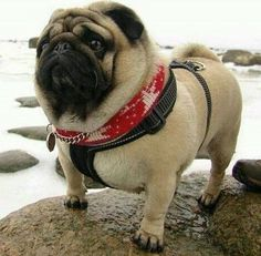Rate This Pug 1 to 100 Bewerte diesen Mops 1 bis 100 Pug Puppies, Chihuahua, Dog Sleep, Cute Baby Animals, Funny Animals, Animals Dog, Labrador Retriever, Sweet Dogs, Pugs And Kisses