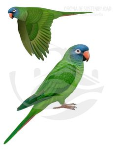 ARATINGA DE CABEZA AZUL. Psitácido de 33-36 cm de longitud. De cuerpo esbelto y cola medianamente larga es el segundo psitácido en tamaño por detrás de la cotorra de Kramer. Su tonalidad es verde uniforme, contrastada por un color azul en la cabeza.