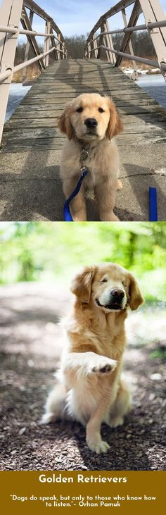 """""""There is no faith which has never yet been broken, except that of a truly faithful dog"""" – Konrad Lorenz #goldenretrievers #lovegolden"""