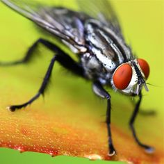 "known as the ""Red Eye Fly't"""