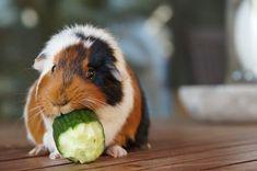 Guinea pigs: The ultimate Peruvian pet - Peru Sabe