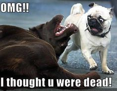 LOL - Those pug dogs make the funniest faces!