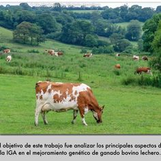 El propósito del mejoramiento genético en los bovinos productores de leche consiste en obtener, mediante selección, a los individuos sobresalientes de la población, con el fin de aprovechar el valor genético transmitido a sus descendientes, como son producción de leche, incremento en los porcentajes de proteína y grasa en la leche, así como hacer más
