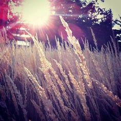 Prairie grass outside Goodwin-Kirk residence hall. Photo of the Day by Tenley Steinke, sophomore graphic design major. #DrakePOTD