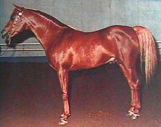 *REFKY (*Morafic x Rafica, by Nazeer) 1963-1985 chestnut SE stallion bred by EAO, Egypt