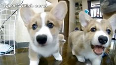Corgi puppy stampede! Mad Max Puppies / cute corgi puppies / Goro@Welsh corgi channel コーギー
