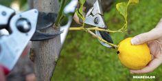 Τα καρποφόρα δέντρα πρέπει να κλαδεύονται σε συγκεκριμένες περιόδους για να διακλαδώνονται σωστά καθ