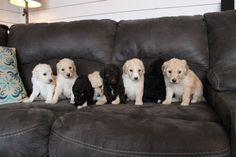 Quality Standard Poodles - from Fishburn Homestead & kennel. Www.fishburnhomestead.com Giant Schnauzer, Standard Poodles, Puppies For Sale, Homestead, Labrador Retriever, Teddy Bear, Dogs, Animals, Labrador Retrievers