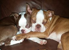 They are Best Friends! This is How their owner found them sleeping on the couch! ► http://www.bterrier.com/?p=28817 - https://www.facebook.com/bterrierdogs
