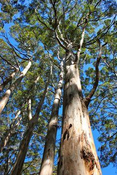 Karri Trees, Western Australia