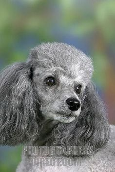 Poodle owners all over the world are coming up with new ways to make their pets beautiful. Take a look the best poodle haircuts for your friend. I Love Dogs, Cute Dogs, Silver Poodle, Poodle Cuts, Amor Animal, Dog Grooming, Poodle Grooming, Dog Life, Dog Pictures