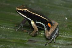 Allobates goianus - Pesquisa Google