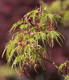 A rare upright growing form with the deeply cut leaves normally associated with weeping types, Acer palmatum dissectum 'Seiryu' shows off the detail of its tiny leaves and flowers. Among The Living, Acer Palmatum, Japanese Maple, Pacific Northwest, North West, Hydrangea, Bonsai, Shrubs, Beautiful Pictures