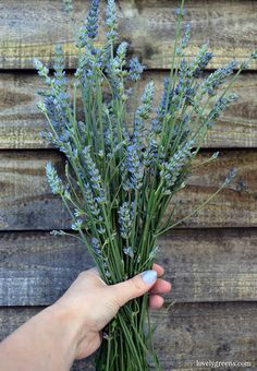 Plants for free: How to grow Lavender from cuttings