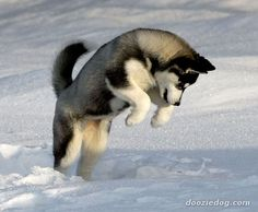 Alaskan Husky Dogs This siberian husky puppy is cute enough to melt our hearts! - With Thanksgiving break so close, yet so far, we understand it's hard to concentrate on writing the final pages of your research paper. Alaskan Husky, Sibirsk Husky, Cute Husky Puppies, Siberian Husky Puppies, Dogs And Puppies, Siberian Huskies, Alaskan Malamute, Pomeranian Husky, Huskies Puppies