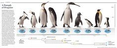 """A Panoply of Penguins. [Illustration by Stephanie Abramowicz, Maps by XNR Productions; for """"The Strangest Bird"""" by R. Ewan Fordyce and Daniel T. Ksepka, Scientific American, November 2012]"""