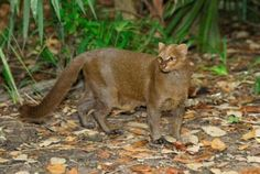 Jaguarundi, weighing only about 11 pounds is listed as endangered in the U.S. since 1976, habitat loss is widely recognized as it's most serious threat. It's historic range stretched from southeastern Arizona and southern Texas, through Mexico, to portions of South America.