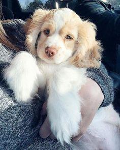 @categenevieve Super Cute Puppies, Cute Baby Dogs, Cute Little Puppies, Cute Dogs And Puppies, Cute Little Animals, Cute Funny Animals, Doggies, Corgi Puppies, Cute Fluffy Puppies