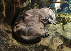 The Japanese giant salamander is the second largest amphibian in the world! Find out more about this amazing animal here!