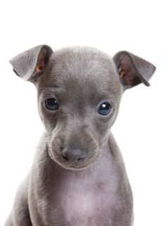 I want an Italian Greyhound!!!!!❤