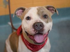 Safe - 02/06/15 Brooklyn Center My name is CHUCK CHUCK. My Animal ID # is A1026528. I am a male white and br brindle pit bull mix. The shelter thinks I am about 2 YEARS old. **$150 DONATION to the NEW HOPE RESCUE that pulls!** I came in the shelter as a STRAY on 01/28/2015 from NY 11208, owner surrender reason stated was STRAY. https://www.facebook.com/photo.php?fbid=956741534338726
