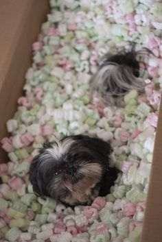 Shih Tzu ... look what I got in the mail!!!