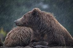 Bear Photography Workshops Alaskan Brown Bear, Rain Gear, Alaska Travel, Photography Workshops, Safari, Rock, Animals, Trips, Rain Jacket