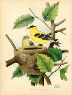 Instant Art Printable - Fantastic Goldfinch & Nest Print