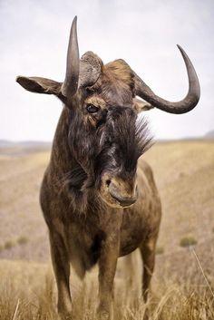 Wildebeest by cj Foeckler
