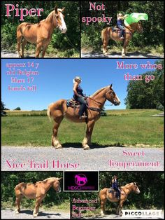 FOUND A NEW HOME  Piper Approx 14 year old Belgian Mare 17 hands tall Advanced Beginner safe More whoa than go Nice Trail Horse Goes alone and with others but prefers to follow when you are in a group  No spooky Sweet Temperament Not marish Nice under saddle