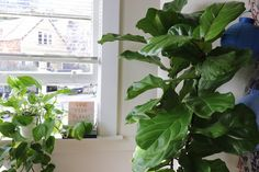 Is Trimming Brown Edges on Fiddles okay? — La Résidence · Plant Care Tips and More Fig Plant Indoor, Indoor Tree Plants, Dry Plants, Trees To Plant, Plant Leaves, Plant Delivery, Fiddle Leaf Fig Tree, Fertilizer For Plants, Dry Leaf