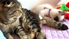 もなか: 捕まえたー!!Gotcha!! まりも( スコテッシュフォールド)雄♂ もなか(ラグドール)雄♂ Hey Bro, Gifu, Cat Breeds, Kitty, Cats, Animals, Cute Pets, Little Kitty, Cat