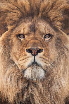 """"""" Lion by Steve Mackay """""""