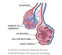 Alveoli (air sacs) massively increase the surface area of the lungs for diffusion.